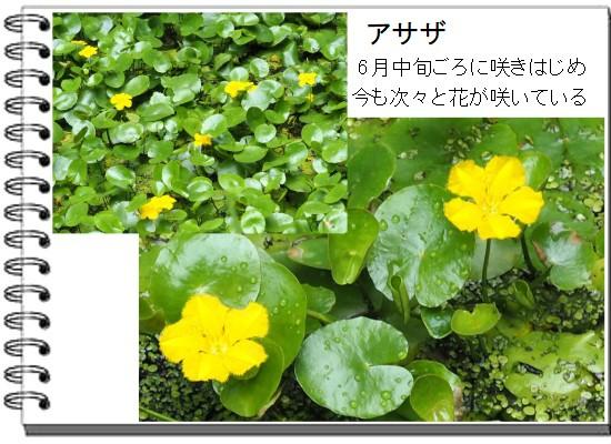 アサザ-550-3T.jpg
