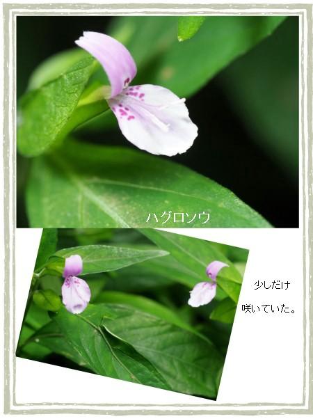 ウハグロソ-450-2T.jpg