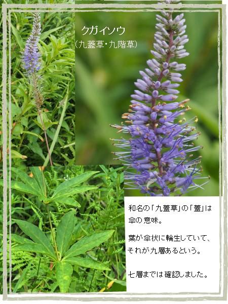 クガイソウ-450-5T.jpg
