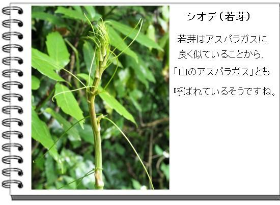 シオデ-550-5T.jpg