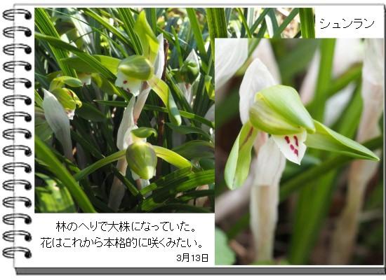 シュンラン-550-3T.jpg