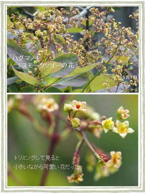 スモークツリーの花-500-7T.jpg