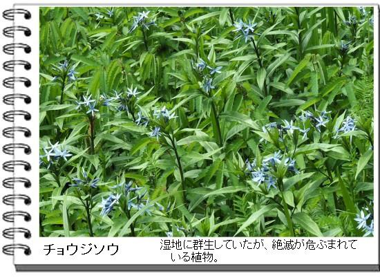 チョウジソウHC-550-2T.jpg