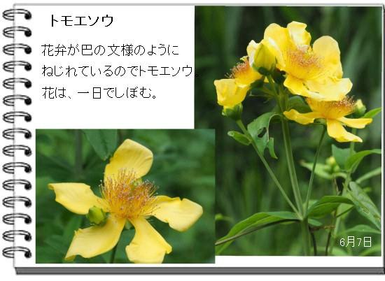 トモエソ-550-4T.jpg