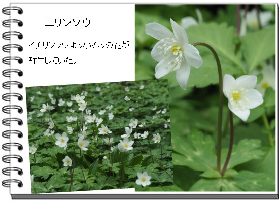 ニリンソウ-550-3T.jpg