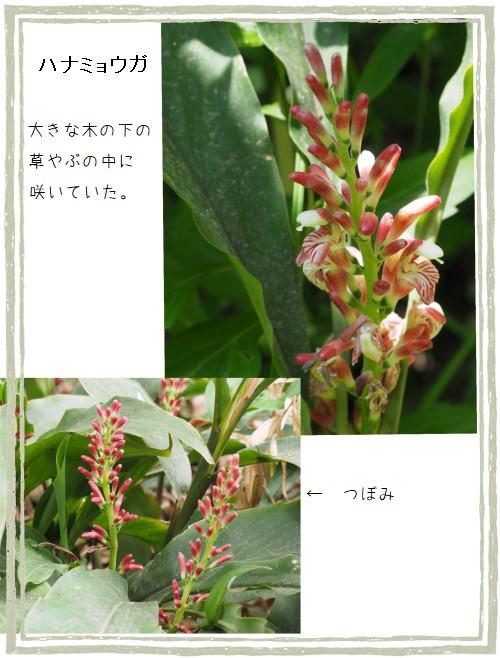 ハナミョウガ-500-7T.jpg
