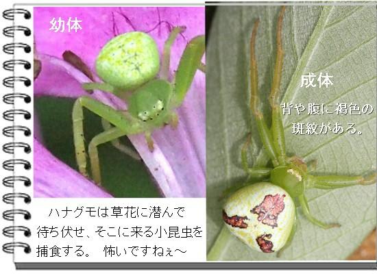 ハナ成体-550-7T.jpg