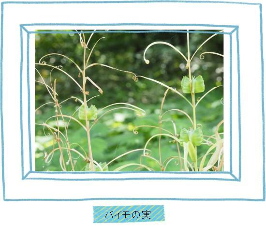 バイモの実-550-T.jpg