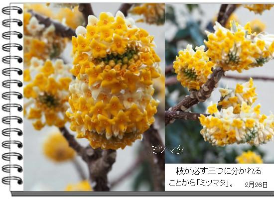 ミツマタ-550-4T.jpg