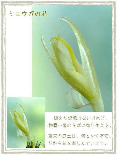 ミョウガ-400-3T.jpg