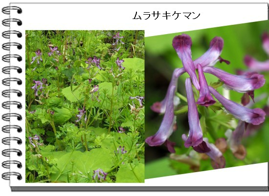 ムラサキケマン-550-T.jpg
