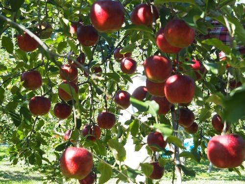 リンゴ狩り (56)-500.jpg