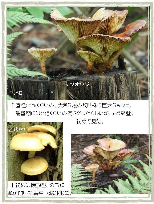 松王子-500-6T.jpg