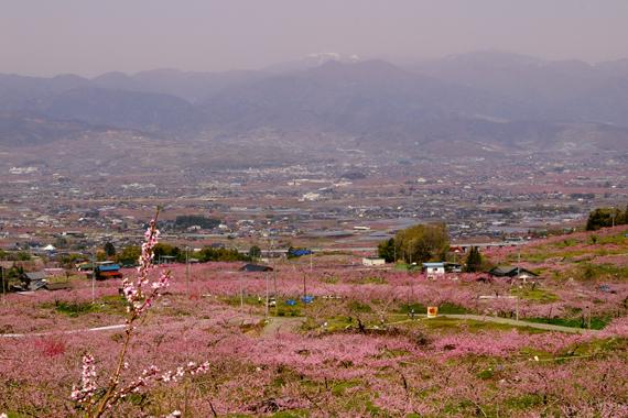 桃の花祭り (2).jpg