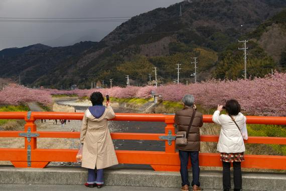 河津桜 (179)-570.jpg