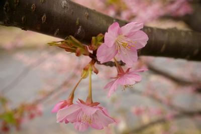 河津桜 (230)-400.jpg